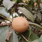 chikoo sapota fruit growing on a tree