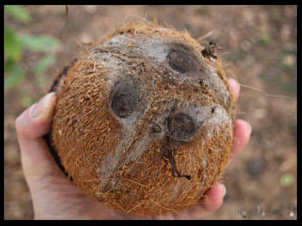 The Coconut  masalaherb.com