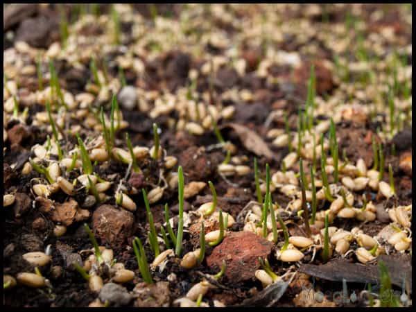 growing wheatgrass