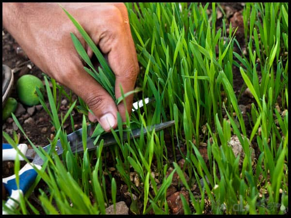 cutting wheat grass