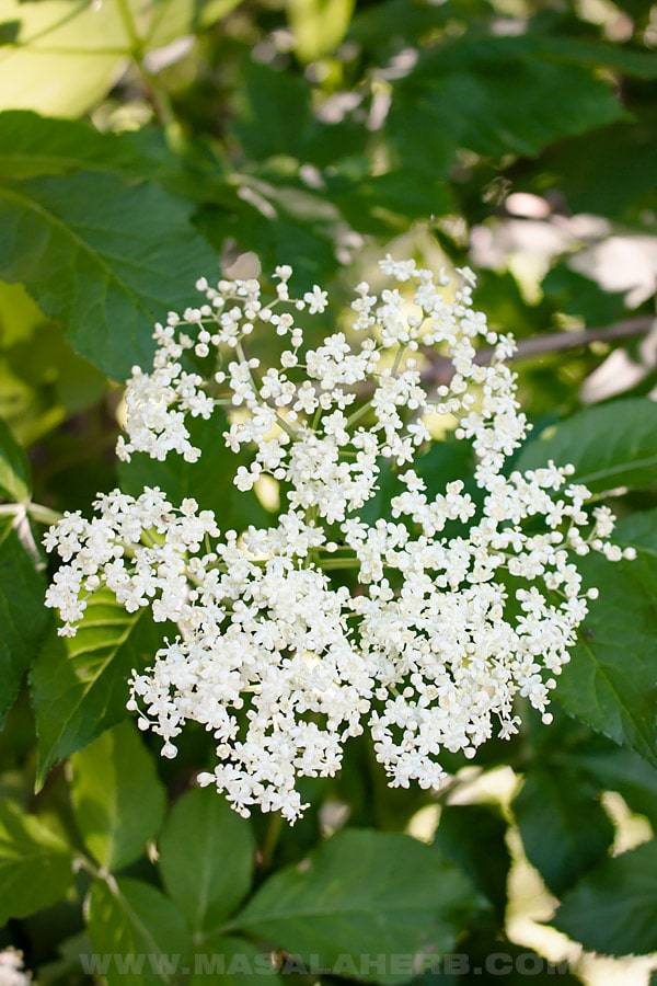 Elderflower head growing on the bush