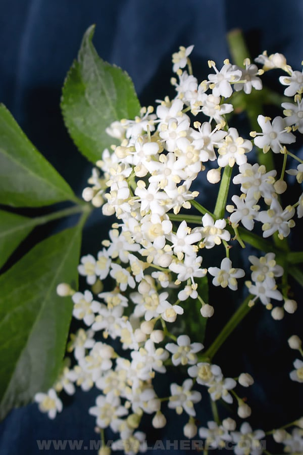 Elderflower blossoms close up