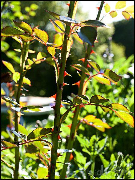 rose bush masalaherb.com