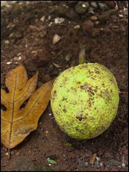Breadfruit masalaherb.com