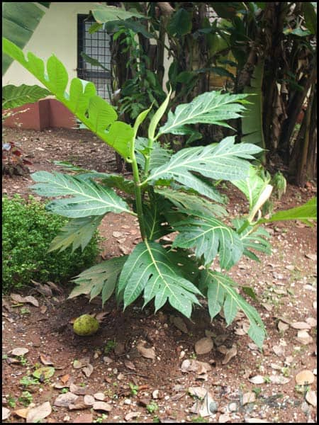 Breadfruit tree masalaherb.com