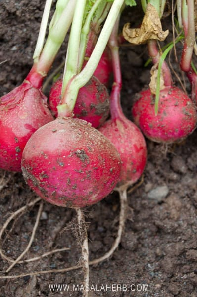 homegrown pink radish
