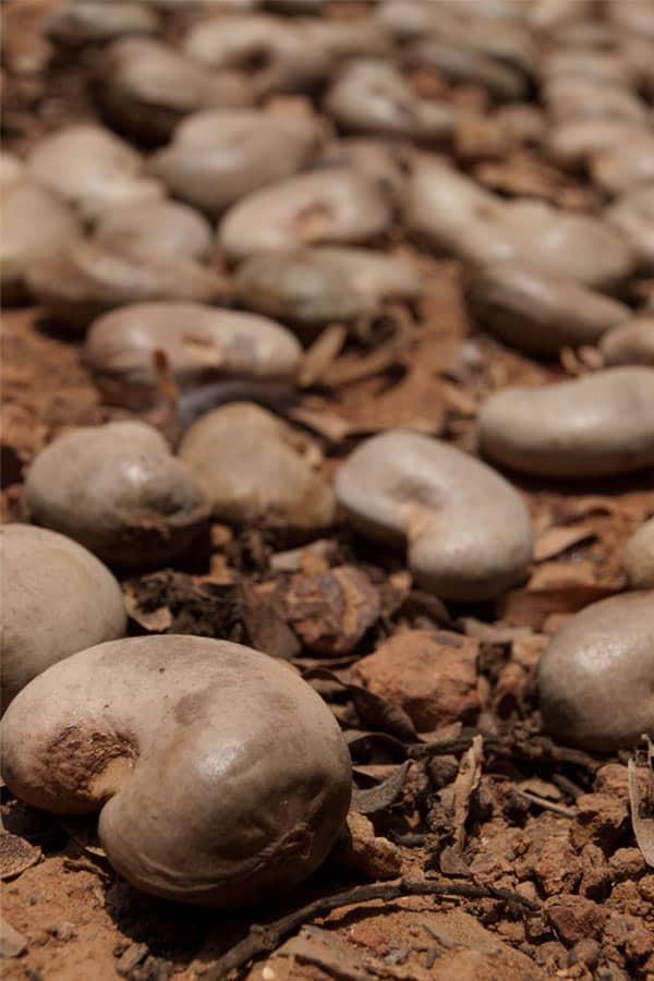 How to roast Cashews - Traditional Goan roasting of raw Cashews - The Caju Fruit preparation with instructions #stepbystep masalaherb.com