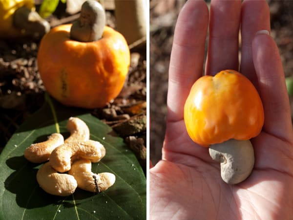 How to roast Cashews - How to prepare Cashew Fruit