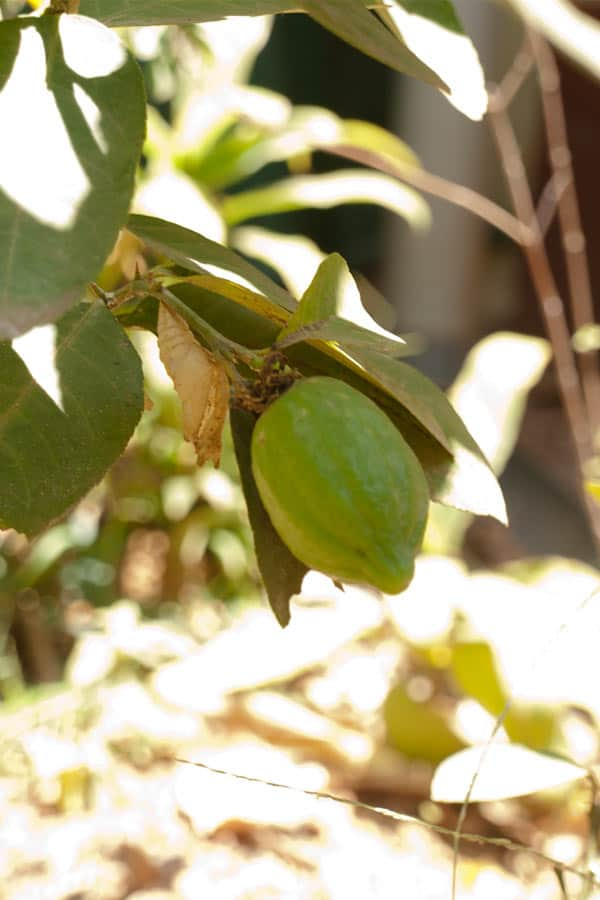 Tropical Fruit Garden India #stepbystep #recipe masalaherb.com