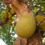 Tropical Fruit Garden India