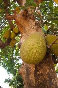 Tropical Fruit Garden India #stepbystep #recipe masalaherb.com