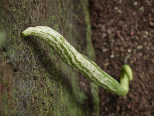 Snake gourd bhaji recipe http://masalaherb.com #stepbystep #recipe