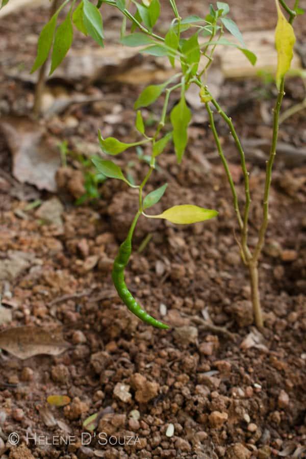 Green chili plant www.masalaherb.com