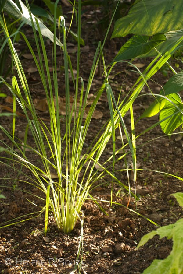 Lemongrass www.masalaherb.com