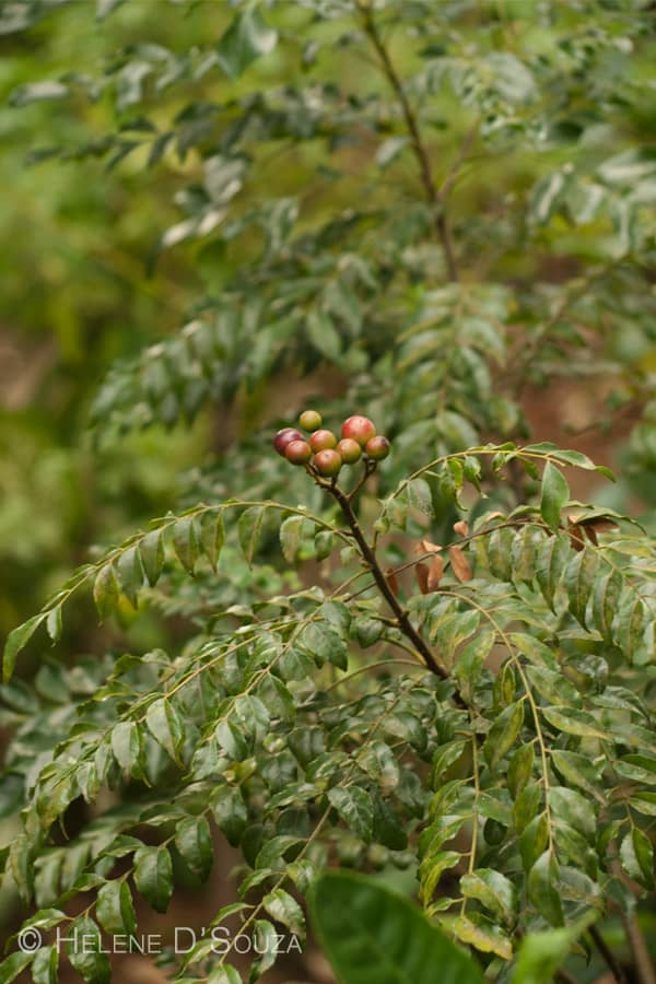 curry tree fruits www.masalaherb.com