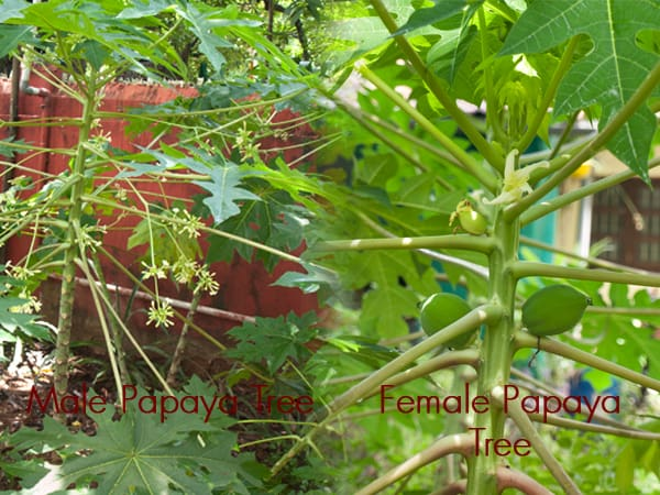 Male female papaya trees www.masalaherb.com
