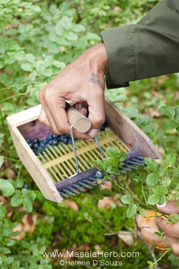 How to pick wild blueberries www.masalaherb.com