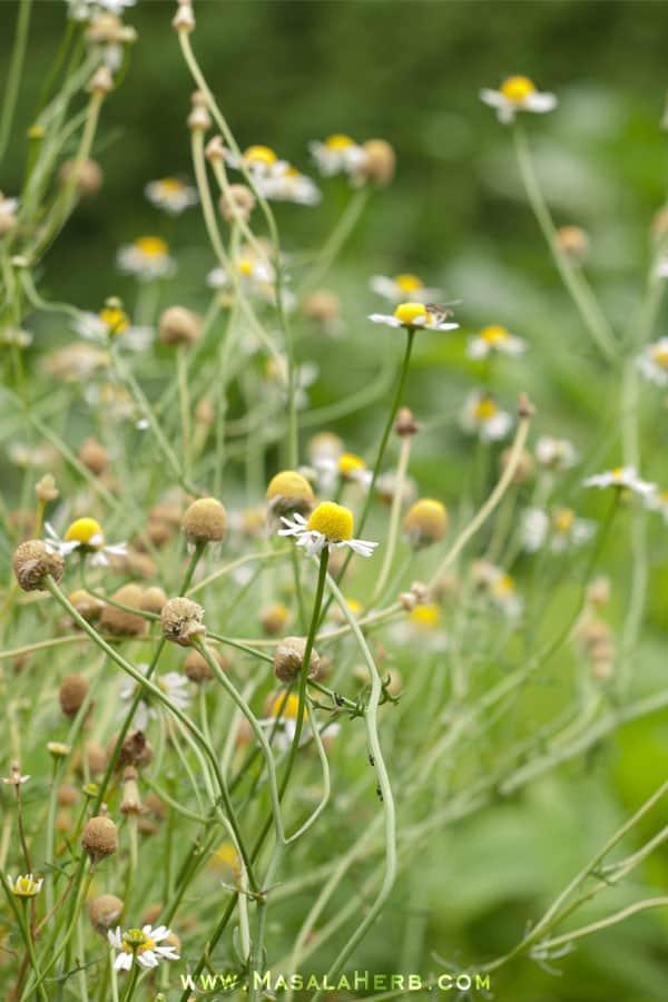 Masala Herb Europe Summer Edition of 2014 www.masalaherb.com