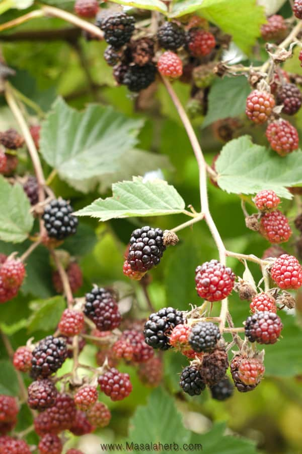 Blackberry jam fresh on the bush image