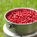 The Lingonberry and how to find wild Lingonberries