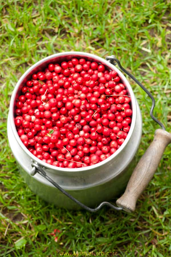 The Lingonberry and how to find wild Lingonberries www.masalaherb.com