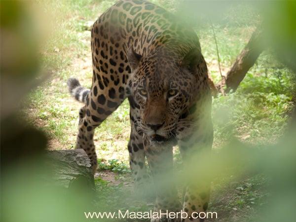 brazilian jaguar Mysore zoo Karnataka South India trip www.masalaherb.com
