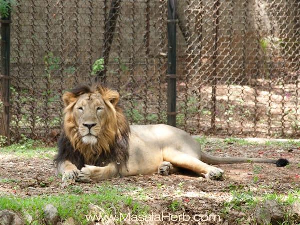 Lion king resting in the summer heat Mysore zoo Karnataka South India trip www.masalaherb.com