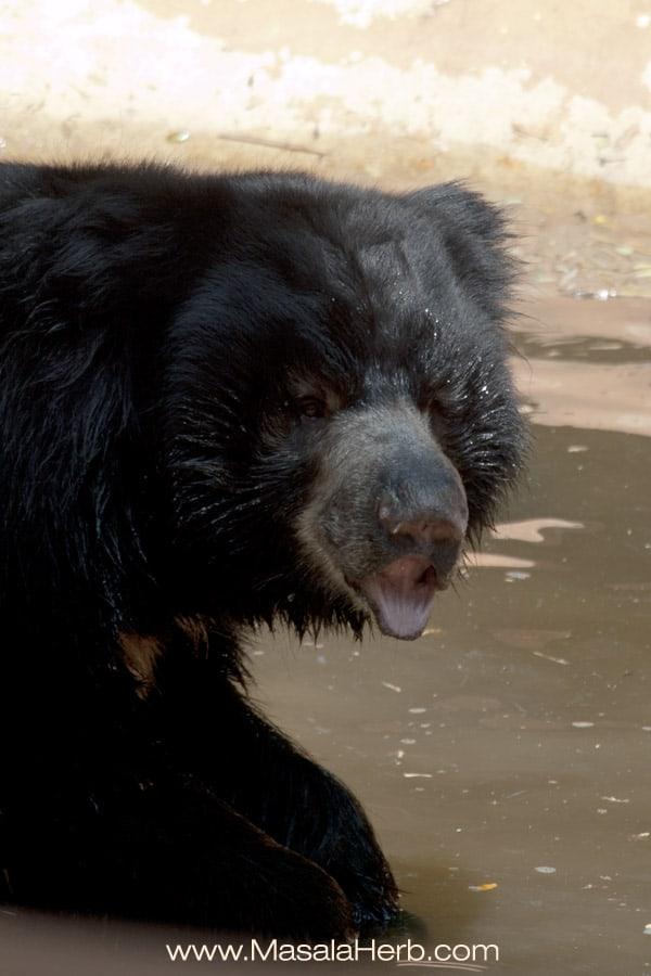 bear at the Mysore zoo Karnataka South India trip www.masalaherb.com