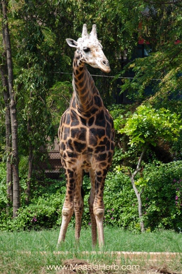 giraffe modeling Mysore zoo Karnataka South India trip www.masalaherb.com