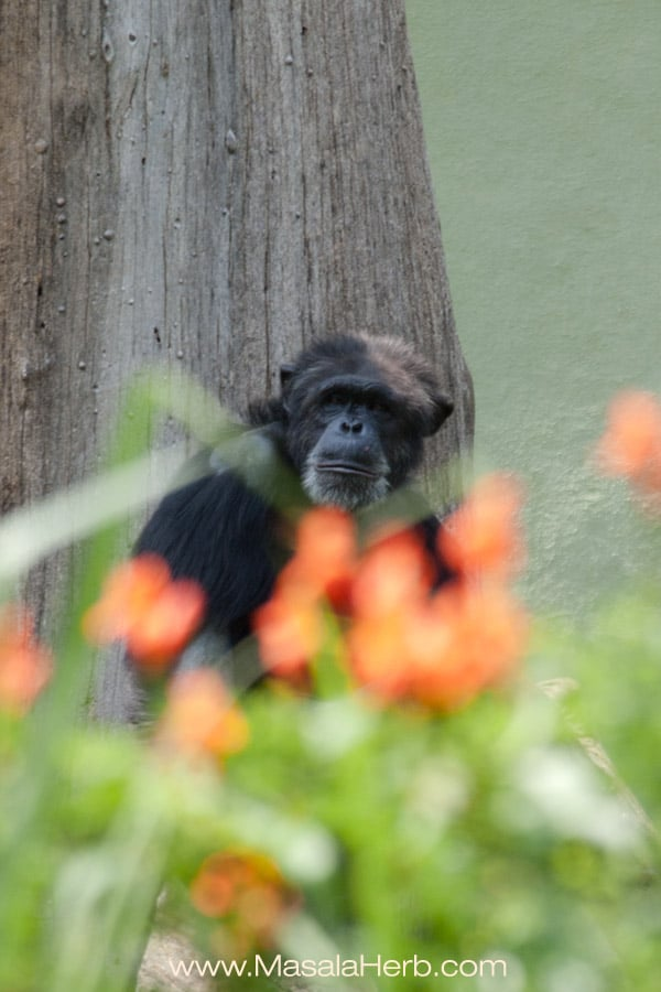pondering chimpanzee Mysore zoo Karnataka South India trip www.masalaherb.com
