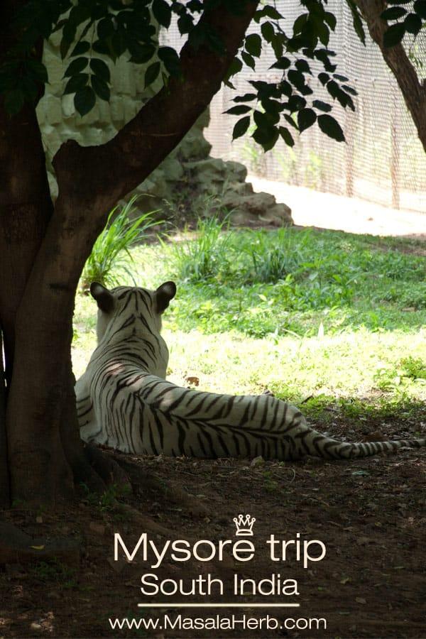 white tiger, Mysore trip and Mysore zoo Karnataka South India trip www.masalaherb.com
