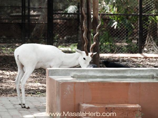rare white Blackbuck deer Mysore zoo Karnataka South India trip www.masalaherb.com