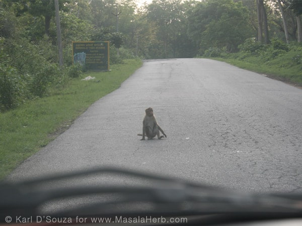Traveling South India www.masalaherb.com the monkey might ask for road toll =P near Ooty Tamil Nadu India