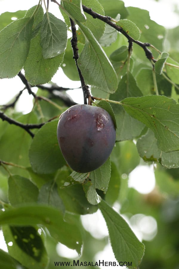 organic plum www.masalaherb.com