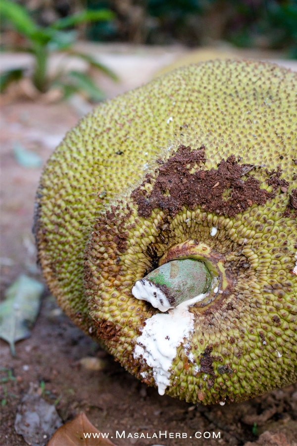 jackfruit sticky glue sap after harvest goa - 9 amazing Vegetarian Jackfruit Recipes & Ideas - Sweet & Savory Jackfruit Eats to discover! www.MasalaHerb.com