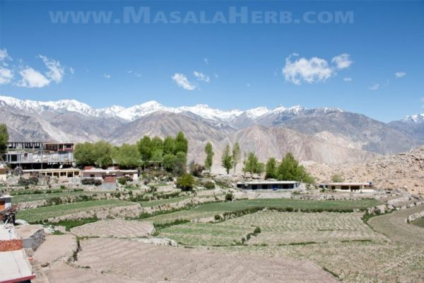 Nako - A Dream Village in the Himalayas - Kinnaur Himachal Pradesh India. We travled to Nako on our #roadtrip from Kinnaur to Spiti valley in 2017 and discovered the beauty of this medieval village next to the Tibetan Chinese border. #roadtrip #himalaya #village #india #masalaherb www.MasalaHerb.com