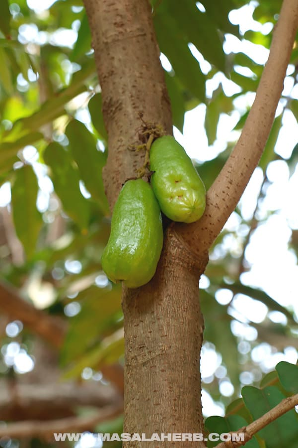 Cucumber Tree Fruit - Tropical Fruits you didn't know existed! [List and pictures]