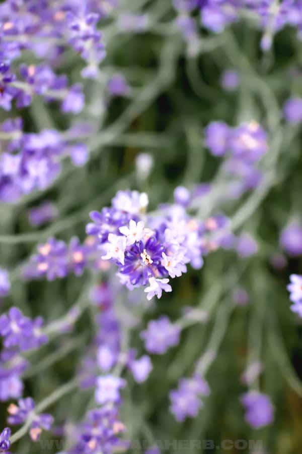 Fresh Lavender plant