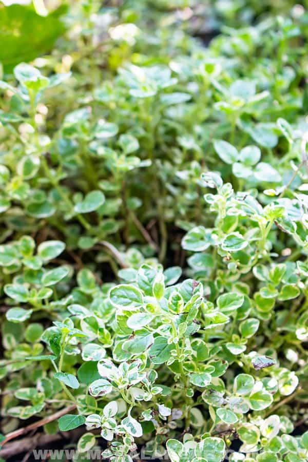 fresh marjoram variety garden