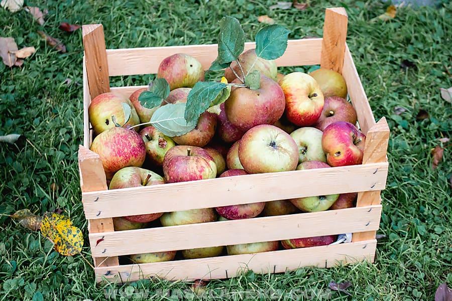 Belle de Boskoop Apples in a box