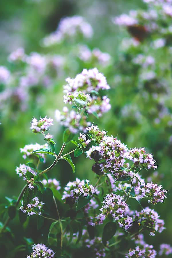 oregano with flowers