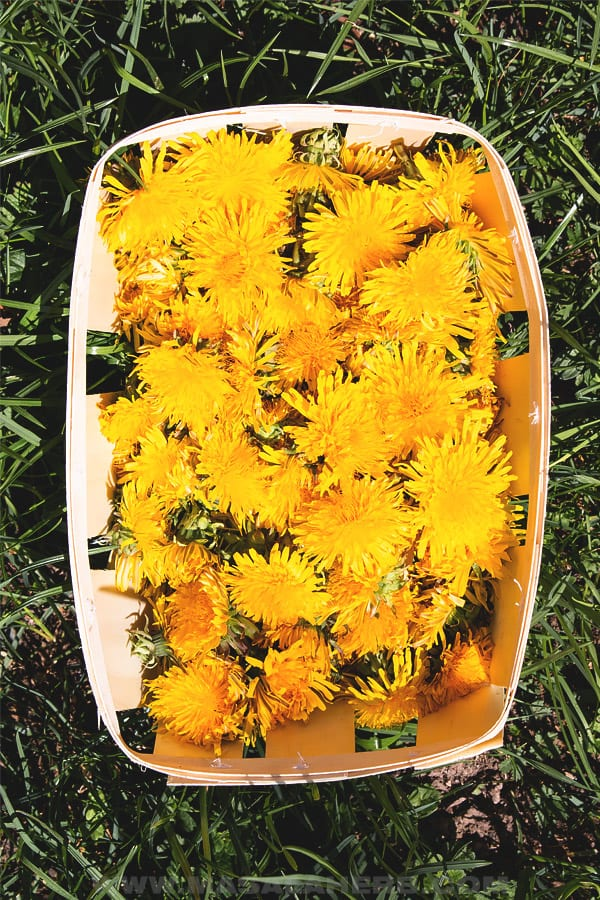collect dandelions in a basket