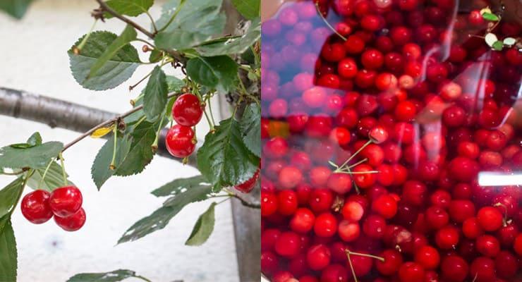 picking cherries and washing