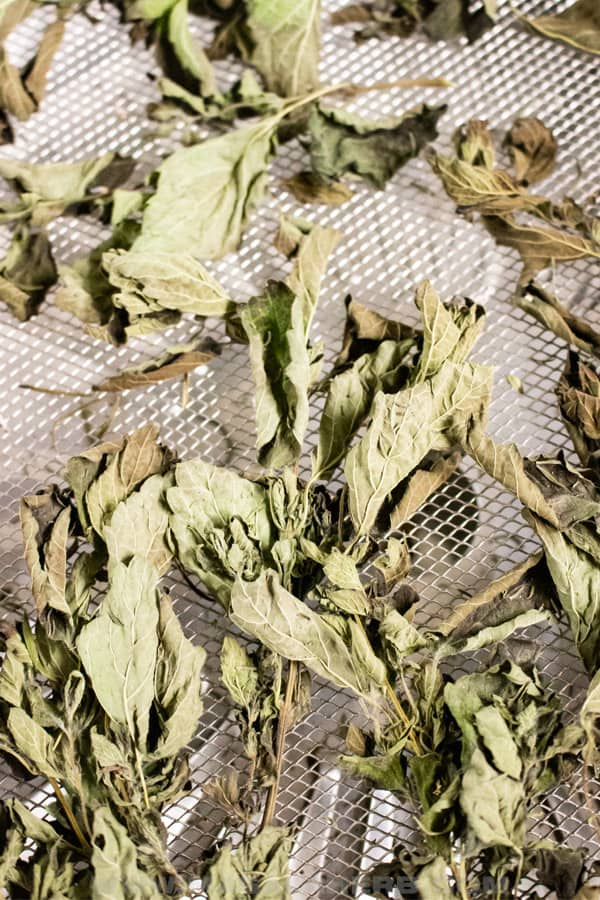 drying herbs in dehydrator