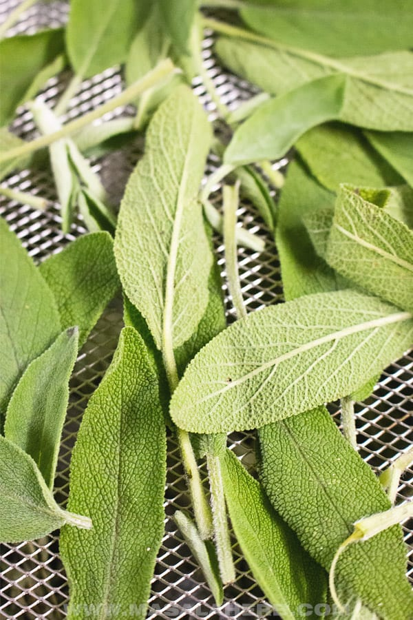 fresh harvested sage drying