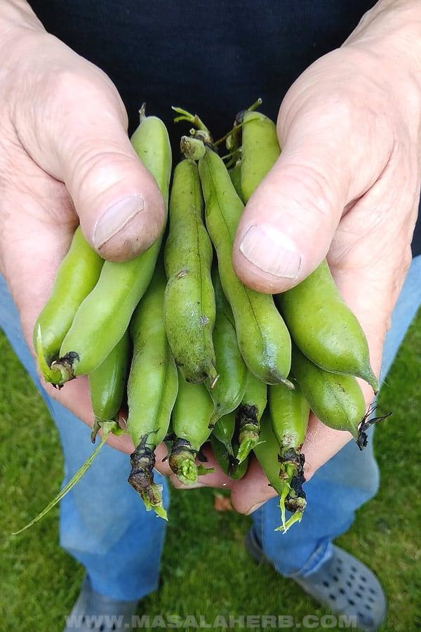 harvesting fava beans
