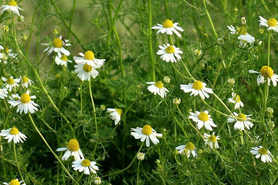 chamomile flower plants