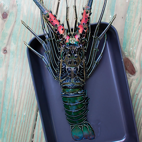 spiny lobster top down view